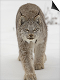 Canadian Lynx (Lynx Canadensis) in Snow in Captivity, Near Bozeman, Montana Prints