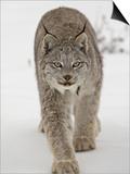 Canadian Lynx (Lynx Canadensis) in Snow in Captivity, Near Bozeman, Montana Láminas