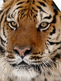 Close-Up of Captive Siberian Tiger (Panthera Tigris Altaica), Near Bozeman, Montana, USA Posters
