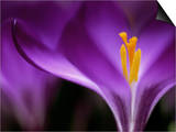 """Crocus Crysanthus """"Eye Catcher"""" (Extreme Close-up) March Prints by James Guilliam"""