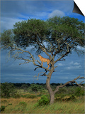 Cheetah in a Tree, Kruger National Park, South Africa, Africa Posters by Paul Allen