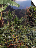 Blue Mountain Coffee Beans, Lime Tree Coffee Plantation, Blue Mountains, Jamaica, West Indies Prints by Ethel Davies