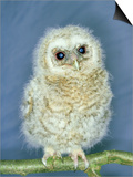 Tawny Owl, Young, UK Art by Les Stocker