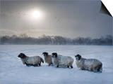 Northumberland Blackface Sheep in Snow, Tarset, Hexham, Northumberland, England, United Kingdom Posters af Ann & Steve Toon
