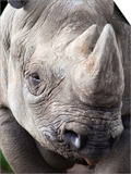 Black Rhino (Diceros Bicornis), Captive, Native to Africa Posters by Ann & Steve Toon