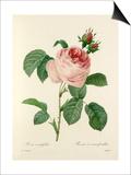 Rosa centifolia: Rosier à cent feuilles Prints by  Langlois