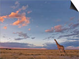 Giraffe, at Dusk, Etosha National Park, Namibia, Africa Prints by Ann & Steve Toon
