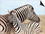Burchell's Zebra, with Foal, Etosha National Park, Namibia, Africa Print by Ann & Steve Toon
