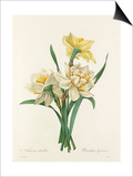 Narcisses doubles: Narcissus Gouani Prints by Joseph Marie Bessin