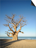 Baobab Tree, Sine Saloum Delta, Senegal, West Africa, Africa Poster by Robert Harding