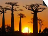 Avenue De Baobabs at Sunset, Madagascar, Africa Poster
