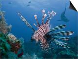 Lionfish (Pterois Volitans), and Caribbean Reef Shark (Carcharhinus Perezii), Roatan, Honduras Prints by Antonio Busiello