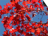 Japanese Maple in Autumn, Akan National Park, Hokkaido, Japan Prints by Tony Waltham