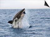 Great White Shark, Breaching to Decoy, Seal Island, False Bay, Cape Town Art by Ann & Steve Toon