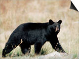 Black Bear (Ursus Americanus), Outside Glacier National Park, Montana Prints by James Hager
