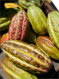 Chocolate Fruits From a Theobroma Cacao Tree, Madagascar, Africa Prints by Michael Runkel