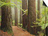 Redwoods and Tree Ferns, the Redwoods, Rotorua, Bay of Plenty, North Island, New Zealand, Pacific Posters by Jochen Schlenker