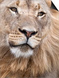Male Lion (Panthera Leo), Addo National Park, Eastern Cape, South Africa, Africa Plakater af Ann & Steve Toon