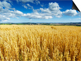 Oat Field, Thorverton, Devon, England, United Kingdom, Europe Posters by Jeremy Lightfoot