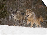 Two Captive Gray Wolves (Canis Lupus) Running in the Snow, Near Bozeman, Montana, USA Láminas