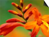 """Crocosmia """"Venus,"""" Close-up of Orange/Red Flower Head Prints by Lynn Keddie"""