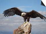 Bald Eagle (Haliaeetus Leucocephalus) Perched with Spread Wings, Boulder County, Colorado Prints by James Hager