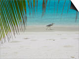 Heron Wading Along Water's Edge on Tropical Beach, Maldives, Indian Ocean Prints by Papadopoulos Sakis