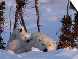 Polar Bear with Cubs, (Ursus Maritimus), Churchill, Manitoba, Canada Prints by Thorsten Milse