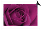 Persian Purple Rose Art by John Harper