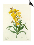 Giroflée jaune: Cheiranthus flavus Prints by  Chapuy