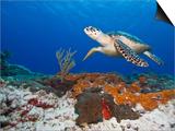 Sea Turtle (Chelonioidea), Cozumel, Mexico, Caribbean, North America Print by Antonio Busiello