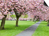 Cherry Blossom on the Stray in Spring, Harrogate, North Yorkshire, Yorkshire, England, UK, Europe Prints by Mark Sunderland