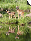 Two Whitetail Deer Fawns with Reflection, in Captivity, Sandstone, Minnesota, USA Posters by James Hager