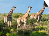 Giraffe (Giraffa Camelopardalis), Namibia, Africa Affischer av Nico Tondini