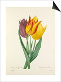 Tulipe de Gesner: Tulipa Gesneriana Art by  Langlois