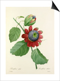 Passiflore ailée: Passiflora alata Prints by  Langlois