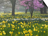 Daffodils and Blossom in Spring, Hampton, Greater London, England, United Kingdom, Europe Prints by Stuart Black