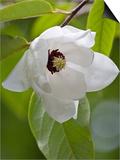 Magnolia wilsonii Posters by Carol Sheppard
