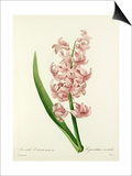 Jacinthe dorient varieté rose: Hyacinthus orientalis Art by Joseph Marie Bessin