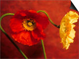 Red & Yellow Iceland Poppies (Papaver Nudicaule, Ornamental) Prints