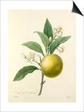 Oranger à fruits déprimés Poster by  Langlois
