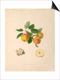 The Borsdorff Apple Print by William Hooker