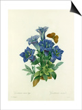 Gentiane sans tige: Gentiana acaulis Posters by  Langlois