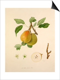 The White Buerrée Pear Posters by William Hooker