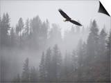 Bald Eagle (Haliaeetus Leucocephalus) Flying over the Trees, Coeur D'Alene Lake, Idaho, USA Prints by Antonio Busiello