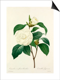 Camellia fleurs blanches: Camellia Japonica Prints by  Langlois