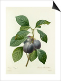 Prune Royale: Prunus Domestica Art by  Langlois