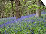 Bluebells in Middleton Woods Near Ilkley, West Yorkshire, Yorkshire, England, UK, Europe Prints by Mark Sunderland