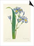Iris frangée: Iris fimbriata Prints by  Langlois