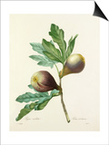 Figue violette: Ficus violacea Poster by Joseph Marie Bessin